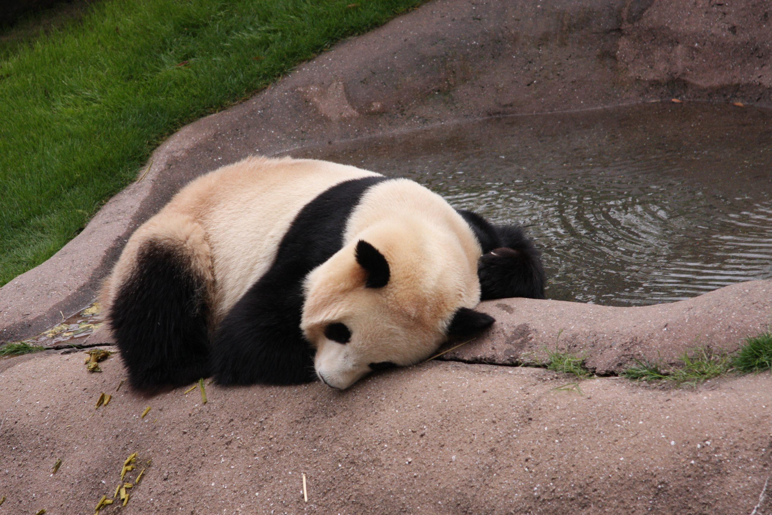 白浜アドベンチャーワールドのパンダ